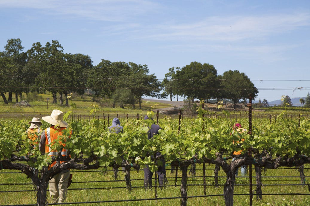 Workers pruning wine grapes